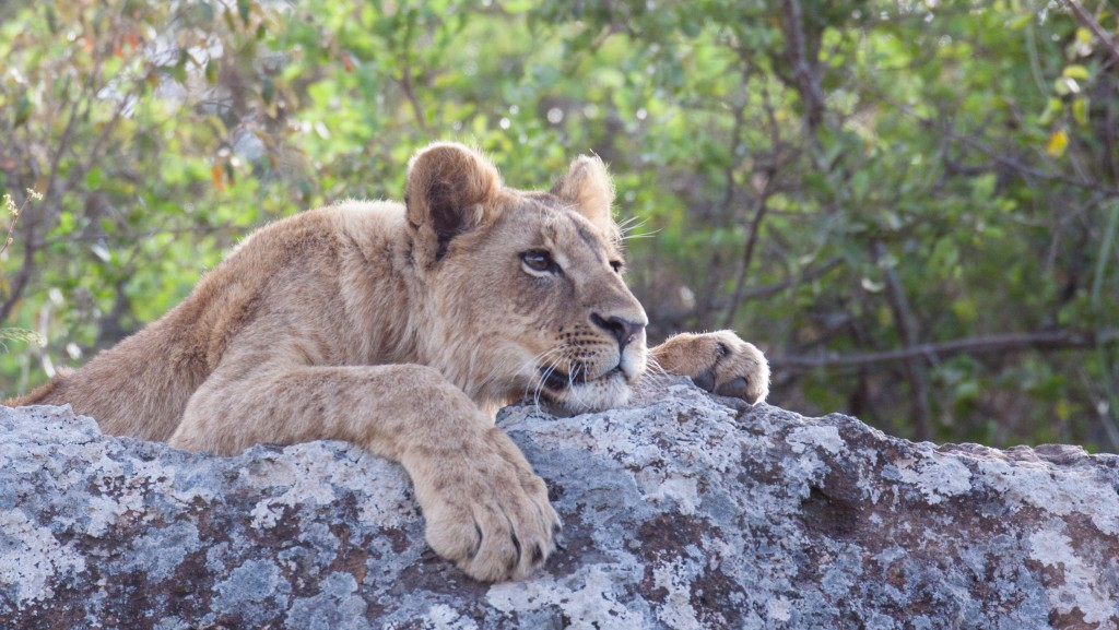 Lion cub relaxing on a rocky outcrop in Nairobi National park