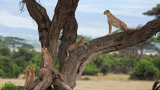 amboseli-cheetahs-in-a-tree-sachin-rai