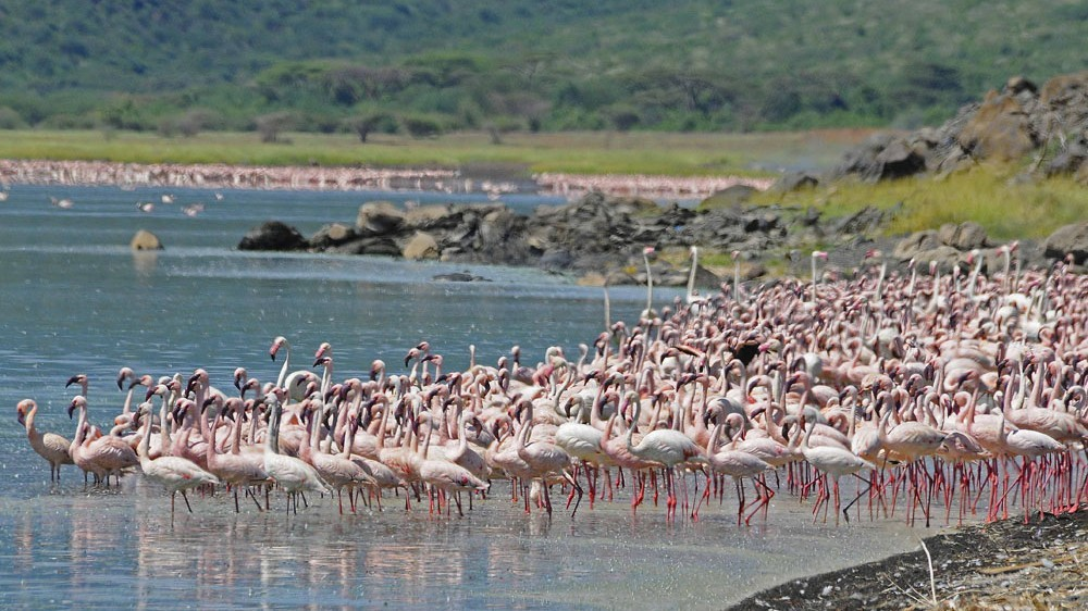 Lake Naivasha Flamingos