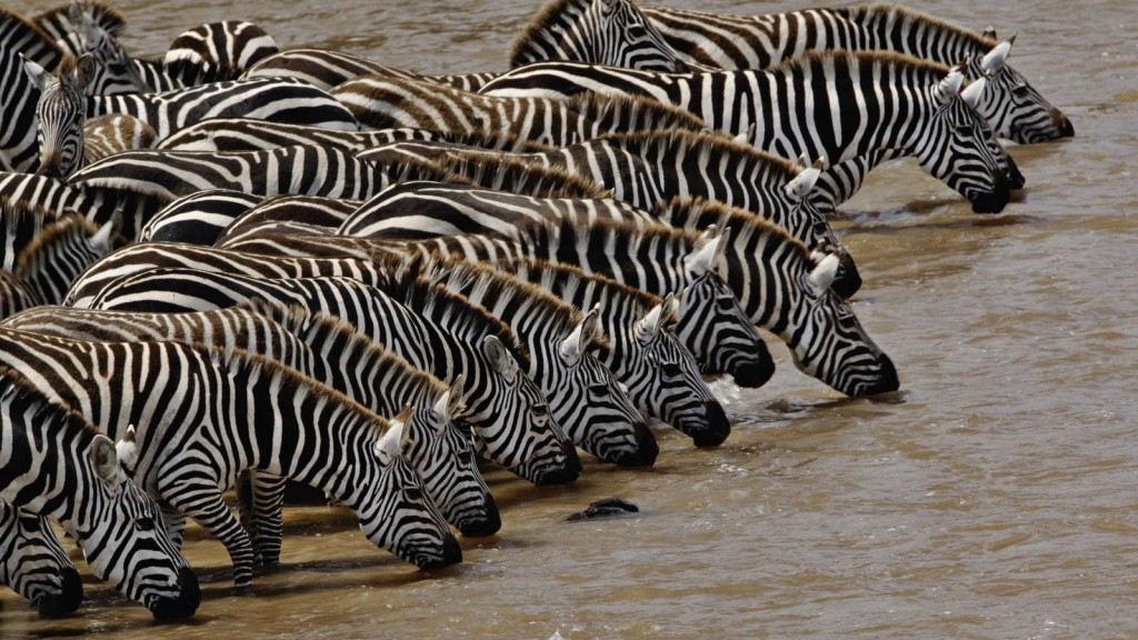 Herd of Burchell's Zebra driking, Mara River, Masai Mara, Kenya