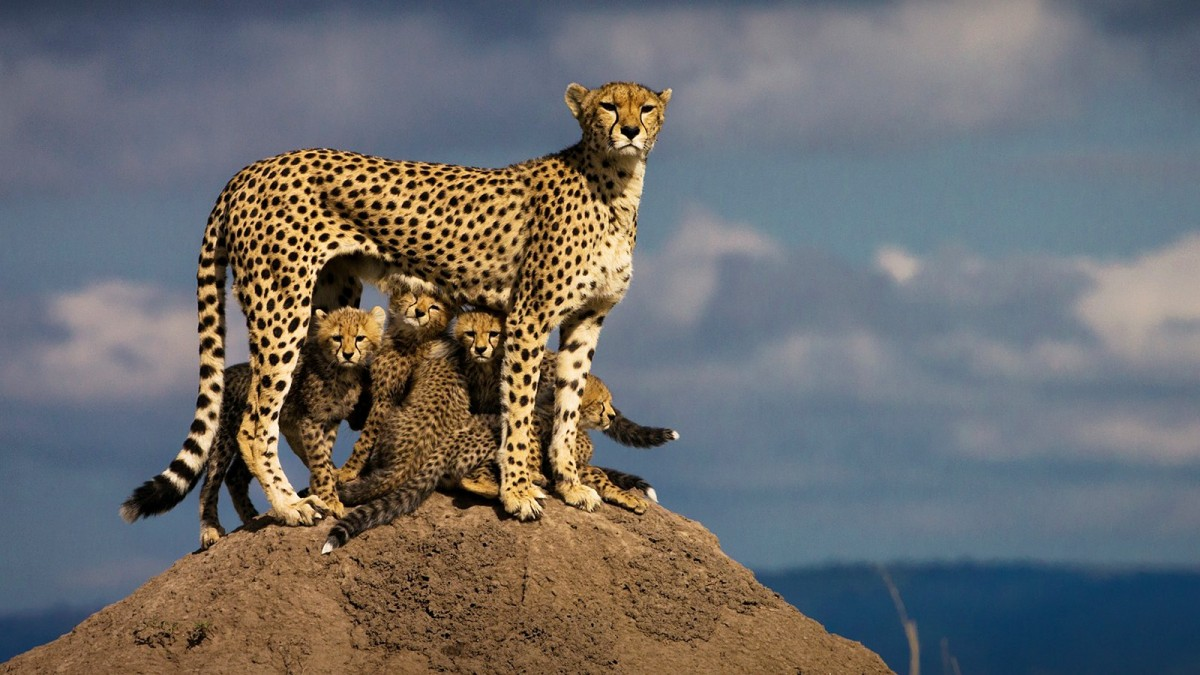 Her name is Malaika. She is well known in Masai Mara reservation (Kenya). her behavior towards her cubs is a great example of perfect motherhood. She spends the whole day trying to keep her cubs safe. After a lioness killed one of her cubs, she is left with five cubs.