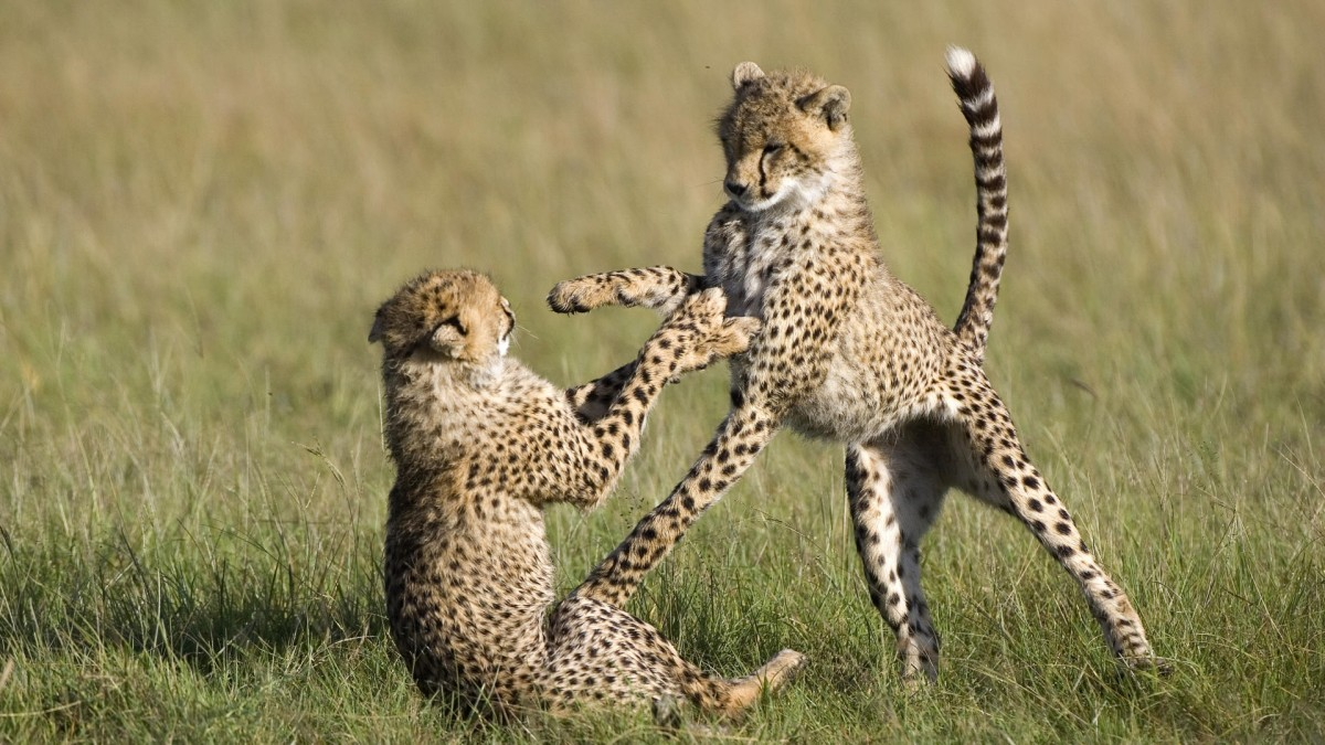 Cheetah (Acinonyx jubatus) 7 to 9 month old cubs playing, Masai Mara National Reserve, Kenya
