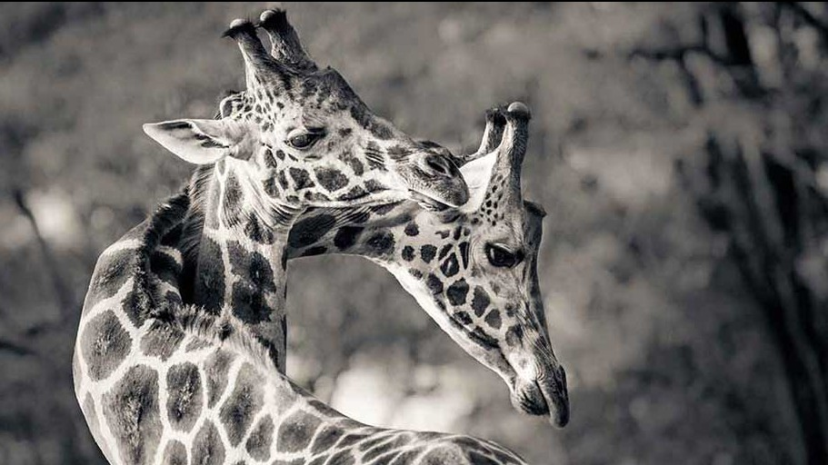 Two-Giraffe-Entertwined-The-Safari-Collection